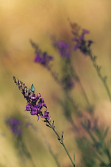 In the spotlight (charhedman - off till sometime in October) Tags: summerflowers echoes bokeh flowers butterfly purple yellow communitygarden textures