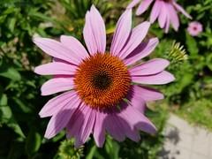 Purple Coneflower (Echinacea Purpurea) (army.arch) Tags: purple flower purpleconeflower echinaceapurpurea