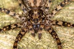 closeup front view of a spider in the garden (hueymilunz) Tags: nz newzealandtransition newzealand wellington garden nature florafauna fauna insect macro closeup