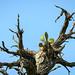 Cactus in a Mesquite Snag