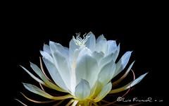 La flor del baile (Luis FrancoR) Tags: tulua valledelcauca colombia luisfrancor flowers flores florinedita nikonflickraward nikon nikonistas nikon60mm28 nikond600 nikonbest macro ngc ngs ngd ngg ng ngw ngo ngm 2019 julio 60mmf28gmicro