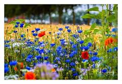 And the winner is.... Blue (Bob Geilings) Tags: flower blue red yellow orange green mood flora nature bokeh white summer wildflowers flowerfield