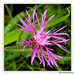 Centaurea maculosa: Spotted Knapweed