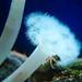 Closeup on a white fluffy metridium