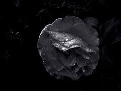 Rose after the rain. Monochrome. Macro. (ALEKSANDR RYBAK) Tags: изображения цветок роза лепестки монохромный макро крупный план капли дождь лето сезон свет тень чёрный белый images flower rose petals monochrome macro closeup drops rain summer season shine shadow black white