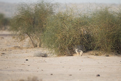 Bengal Fox - Vulpes bengalensis (Jono Dashper Wildlife) Tags: desertnationalpark rajasthan india desert national park bengalfox vulpesbengalensis bengal fox vulpes bengalensis mammal wild wildlife nature animal canon 500mm 1dx 2019 jonodashper jonathondashper naturephotography wildlifephotohraphy indianfox