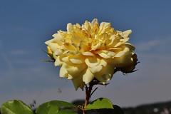 Rose (Hugo von Schreck) Tags: hugovonschreck rose flower blüte macro makro canoneosm50 efm1545mmf3563isstm