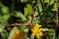 Butterfly (Hugo von Schreck) Tags: hugovonschreck butterfly schmetterling falter macro makro insect insekt canoneosm50 tamronsp90mmf28divcusdmacro11f017