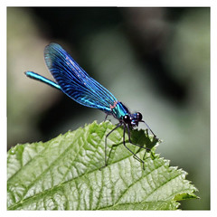(karl from perivale) Tags: insect blue green outdoor wildlife nature wings eyes denham buckinghamshire england uk gb denhamcountrypark