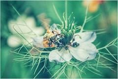 spellbound (***étoile filante***) Tags: bee biene insect insekt flower blume magic magical zauber verträumt verzaubert beautiful beauty beauté schönheit schön life leben natur nature macro nahaufnahme closeup bokehlicious bokeh poetic soul souldeep soulful summer sommer canoneos60d canon
