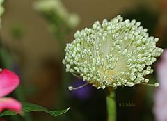 Allium Bud (abrideu) Tags: abrideu canoneos100d macro flower depthoffield bright bokeh bouquet ngc npc