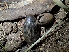 Dytiscus semisulcatus - 23/07/19 (Philippe_Boissel) Tags: 32165 coleoptera coleoptère insects europe france bretagne morbihan pluneret dytiscussemisulcatus pterygota neoptera adephaga caraboidea dytiscinae
