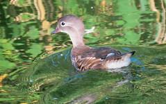 Juvenile mandarin duck (Elisa1880) Tags: mandarin duck aix galericulata mandarijneend vogel bird den haag the hague nederland netherlands solleveld