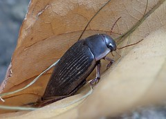 Dytiscus semisulcatus - 23/07/19 (Philippe_Boissel) Tags: 32179 coléoptère coléoptera dytiscidae insects europe france bretagne morbihan pluneret dytiscussemisulcatus dytiscinae caraboidea adephaga neoptera pterygota