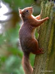 Red Squirrel - Cumbria (Alan Woodgate) Tags: