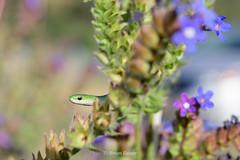 why hello there (Brian Eagar Nature Photography) Tags: opheodrysvernalis smoothgreensnake nikon d500 60mm macro reptile snake utahherps herp wildlife nature animal wild utahwildlife utahnature utahsnake utahherp utahreptile flower wildflower