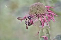Stick close to your honey 😊 (Zara Calista) Tags: nikon bumble bee flower flora bug insect soft light smileonsaturday beeautiful