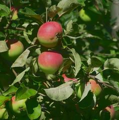 Яблоня (lvv1937) Tags: яблоня яблочки листва спасибо agriculture flickrinfullcolor flickrunofficial inexplore
