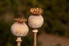 Promesses de fleurs... (clamar18) Tags: flower coquelicot poppy nature jardin mérysurcher france seed graine