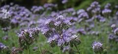not quite purple (quietpurplehaze07) Tags: bugloss mauve hilliers bokeh flowers vipersbugloss