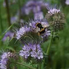 bee on mauve (quietpurplehaze07) Tags: bugloss mauve hilliers bokeh flowers bee