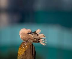 evening bath (Denes Szucs) Tags: bird outdoors nature animal wildlife flying closeup animals in the wild blue