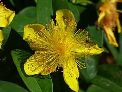 Johanniskraut (dorisgoebel) Tags: johanniskraut blume flower blüte blossom gelb yellow natur pflanzenwelt