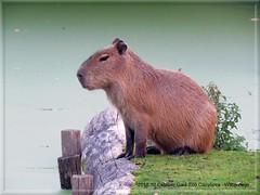 012315 2018 10 Oktober Gaia Zoo Capybara - Waterzwijn C (Photo by Reinier Mensink) (mensinkr) Tags: waterzwijn capibara mammals zoogdieren dierenanimals zoo dierentuin outdoor nature natuur beesten specanimal