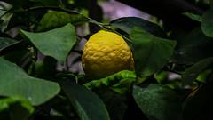 Limone-237 (NiBe60) Tags: italien lombardei prescia gardasee limone sul garda gardesana occidentale pflanzen zitrone plantage frucht italy lombardy brescia lake occidental plants lemon plantation fruit