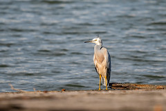 White-faced Heron (timmytooltime) Tags: sony a7iii 100400mm sydney homebush bay olympic park heron white faced nsw