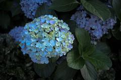 (garthim) Tags: olympus pen epm2 lumix panasonic 20mm japan tokyo flower