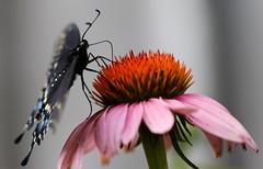Black Swallowtail. (Gillian Floyd Photography) Tags: black swallowtail butterfly macro