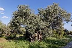 happy olive tree (alexandros9) Tags: eubea island spring greece 2019 elitegalleryaoi bestcapturesaoi aoi