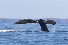 Humpback Whale | Megaptera novaeangliae | Baleine à bosse (Paul B Jones) Tags: newfoundland humpbackwhale megapteranovaeangliae baleineàbosse baybulls witlessbay atlanticocean canada nature wildlife seamammal cetacean tail canon eos1dxmarkii ef600mmf4lisiiiusm