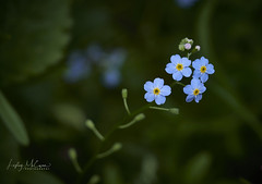 P7030539 1 (ellgeemacphotos) Tags: forgetmenot flower