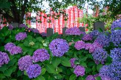 六孫王神社6・Rokusonnou Shrine (anglo10) Tags: japan kyoto 京都府 京都市 神社 shrine アジサイ flower