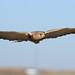 Greater kestrel, Falco rupicoloides, at Dullstroom Bird of Prey