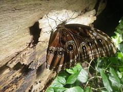 Morpho achilles (abelhário) Tags: borboleta borboletasneotropicais farfalla vlinder butterfly schmetterling neotropicalbutterflies borboletário vlindertuin butterflyhouse schmetterlingsgarten morphoachilles papillon