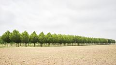 Treefarming (Bernd Walz) Tags: trees tree treefarm countryside rural agriculture transformedlandscape artificiallandscape newtopographics field fields brandenburg landscape