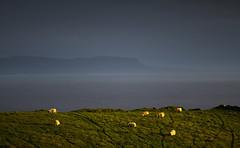 Sea Sheep (2c..) Tags: donegal wild atlantic glourious sunset light way ireland sheep landscape best evening moody digital water marked tracked 2c 2cimage eire irelandwildatlanticway nature europe bay sea