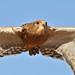Greater kestrel, Falco rupicoloides, at Dullstroom Bird of Prey & Rehabilitation Centre (captive, tame, flown).