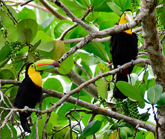 Pareja de Tucanes Pico Iris (Porschista) Tags: puertoviejo cahuita costarica tucan picoiris limon ramphastossulphuratus