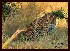 LEOPARD (Panthera pardus) ...MASAI MARA.....SEPT 2018. (M Z Malik) Tags: nikon d3x 200400mm14afs kenya africa safari wildlife masaimara keekoroklodge exoticafricanwildlife exoticafricancats flickrbigcats leopard pantheraparduc ngc