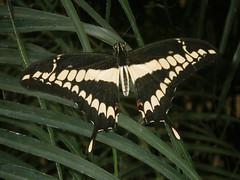 Heraclides thoas brasiliensis (abelhário) Tags: borboleta borboletasneotropicais butterfly neotropicalbutterflies vlinder schmetterling farfalla vlindertuin butterflyhouse borboletário heraclidesthoasbrasiliensis papillon