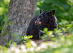 Woodland Resident... (DTT67) Tags: nature animal canon mammal wildlife bear virginia shenandoah blueridgemountains blackbear 500mmii