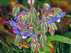 Biene an Borretsch (Borago officinalis) (Hans-Georg Knöß) Tags: borretsch boretsch gurkenkraut borago officinalis kukumerkraut raublattgewächs boraginaceae hansgeorg knös biene