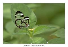Greata oto (Jan H. Boer, Nature photographer) Tags: gretaoto glasswingbutterfly butterflies insects macro nature costarica turrúcares nikon d500 afsnikkor300mmf4 jansphotostream