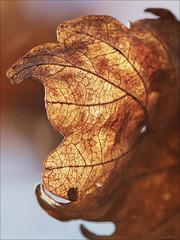 The old leaves (AETHOMAS67) Tags: oak leaf old veins decay brown tree
