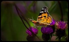 Knapweed walkway - Painted Lady (pitkin9) Tags: paintedlady butterfly vanessacardui knapweed nature wildlife makemesmile