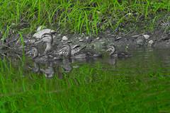 Cane et ses canetons, Beauce, P.Q., Canada - 3741 (rivai56) Tags: caneetsescanetons beauce pq canada 3741 cane canetons colvert mallard duck green vert canard sélection de la couleur verte selection color reflection réflexion du sur leau